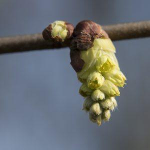 Scheinhasel Blüte
