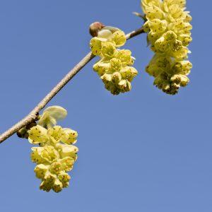 Scheinhasel Blüten