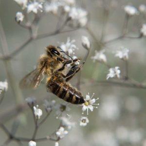 Schleierkraut und Biene