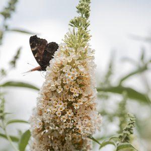 Schmetterlingsflieder creme