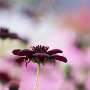 Schokoladenblume