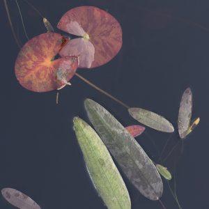 Seerosen Wasserblatt