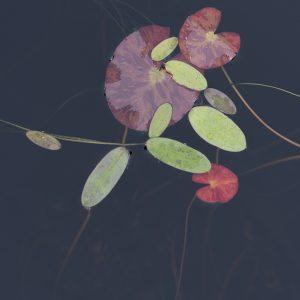 Seerosen Wasserblätter