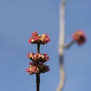 Silberahorn Blüte