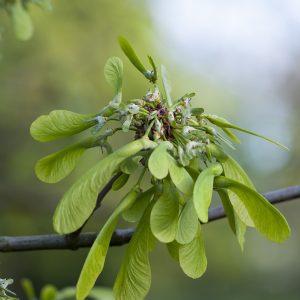 Silberahorn Samen