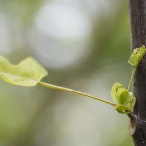 Spross Tulpenbaum