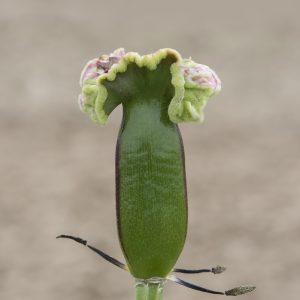 Tulpe Samenkapsel