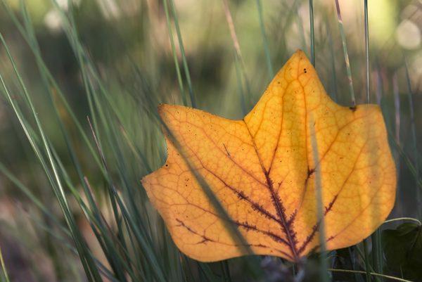 Tulpenbaum Blatt