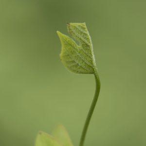 Tulpenbaum Spross