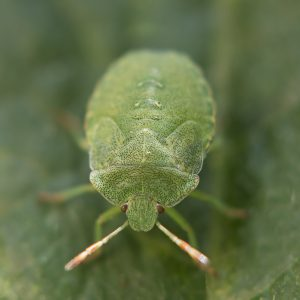 Wanze grün