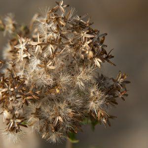 Wasserdost Samen