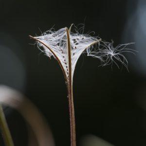 Weidenröschen Samen