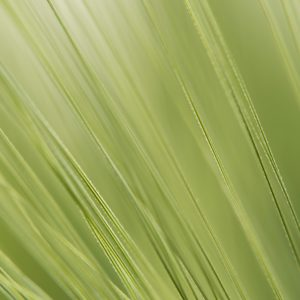 Weizengrannen