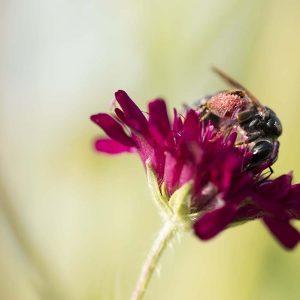 Wildbiene auf Witwenblume