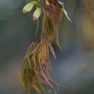 Ahornblatt Herbst