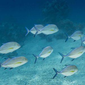 Fische Makrelenkinder