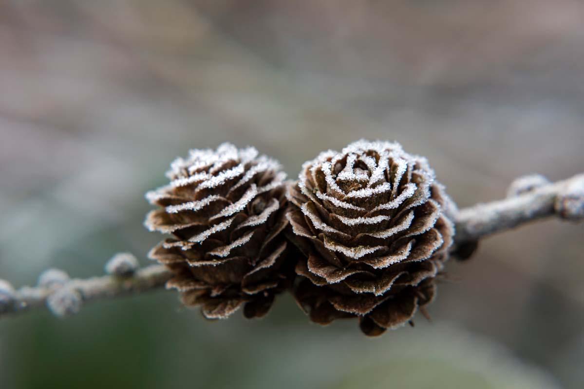Lärche Frost