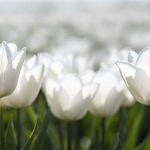 Tulpe weiß